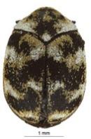 Anthrenus verbasci, Coleoptera, Dermestidae, beetle, insect