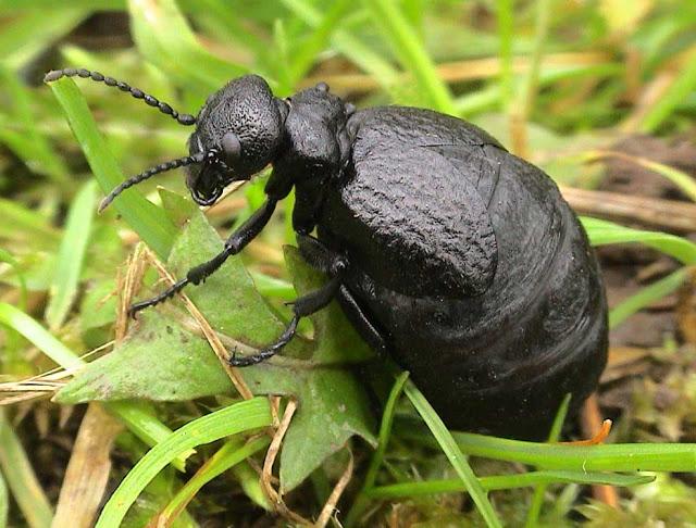 Coleoptera, Meloidae, beetle, Meloe mediterraneus
