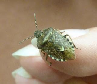 Hemiptera, Pentatomidae, Dolycorris baccarum, Sheild bug, insect, identification