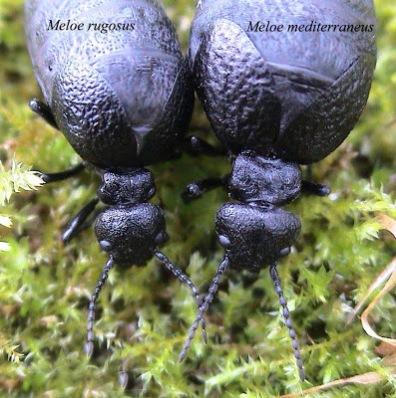Coleoptera, Meloidae, beetles, rugosus, mediterraneus, Meloe, British
