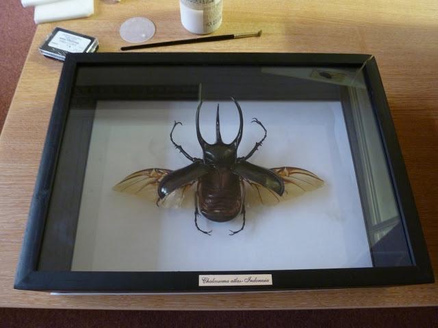 Insect, Coleoptera, Scarabaeidae, Chalcosome atlas, HEC, OUMNH, specimen repair
