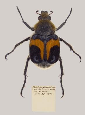 Coleoptera, Scarabaidae, Cetoniinae, beetle, scarab, insect
