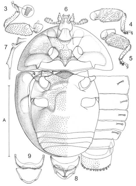 Coleoptera, Corylopidae, beetle, drawing
