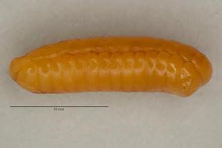 insect eggs, photograph, OUMNH, ootheca, cockroach, blattodea