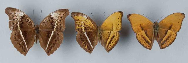 lepidoptera, gynandromorph, butterfly