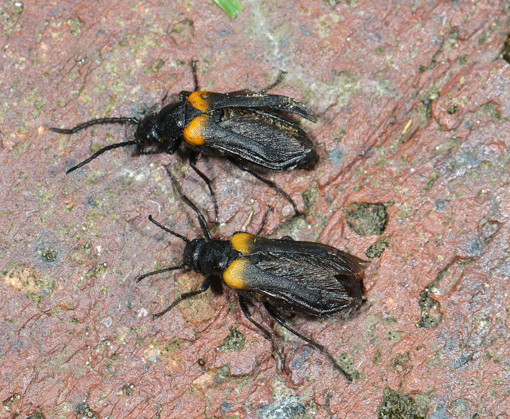 The Flame-Shouldered Blister Beetle – re-discovered at last